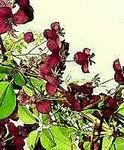 mehrj hrige winterharte kletterpflanze akebia quinata und. Black Bedroom Furniture Sets. Home Design Ideas